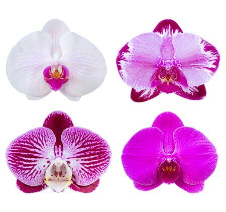 Satz von Phalaenopsis Orchideenblüten isoliert auf weiss mit Beschneidungspfad Standard-Bild