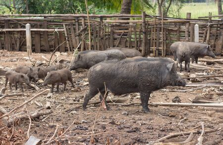 wild boar family on rural farm Stock Photo