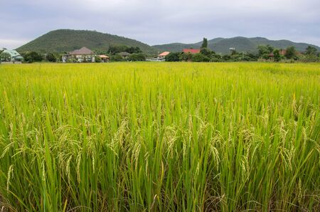 Rice field in the rural