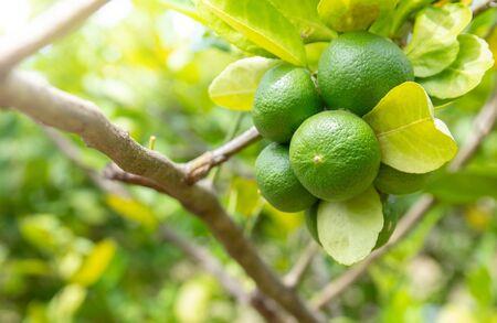 lime on tree or green lemon fruit