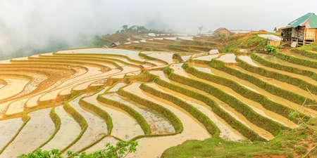 harvest field: Rice fields in north Vietnam