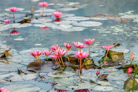 beautyful: lotus flower