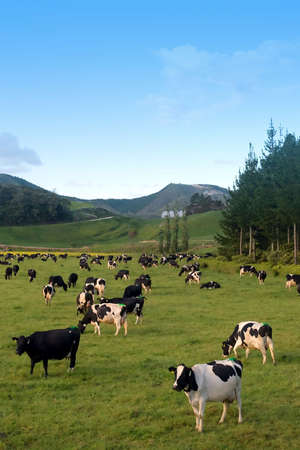 Cow Farm at New Zealand photo