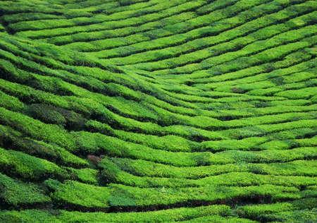 Tea Plantation at Cameron Highlands Malaysia photo