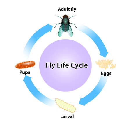 Fly lift cycle on white background. Illustration