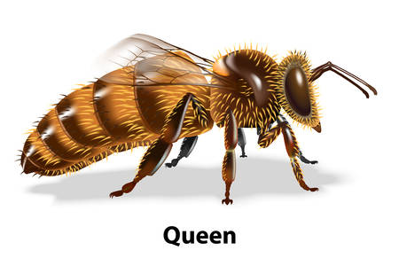 Bee queen side vector