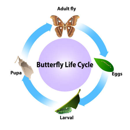 Butterfly life cycle vector on white background for all graphic.and educations science.