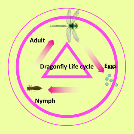 The life cycle of a dragonfly. For use in teaching on education. Located in science, biology and agricultural subjects. This file is a vector.
