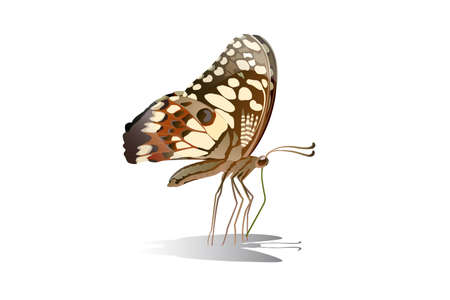 Butterfly on the top side and eating nectar from flowers Vector on a white background Imagens - 129151270