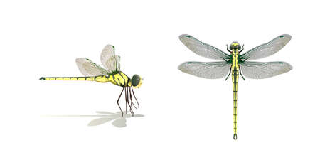 Dragonfly side top vector on white background, Isolated.