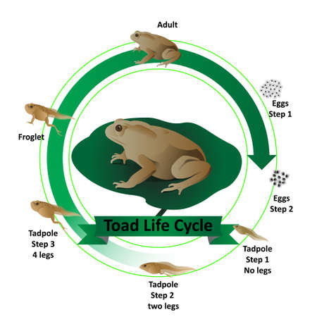 Toad life cycle, from eggs to adults Have tadpoles in the middle of life