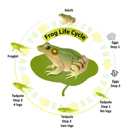 The life cycle of frogs, amphibians,Insects are their food, life stages when the larvae are tadpoles living in the water, The first phase will spawn.