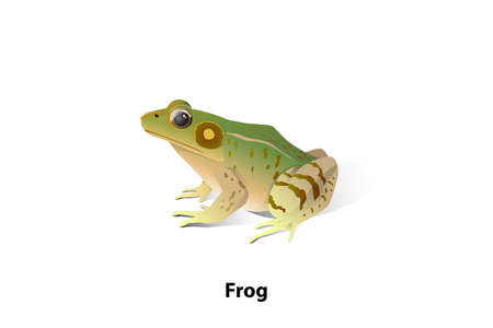 Vector frogs on a white background, amphibians, insects are their food. Life span. When the larvae are tadpoles that live in the water, the first will lay eggs. Ilustração