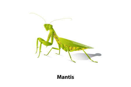 Green mantis rice on the white background