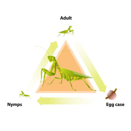 The life-cycle of mantis. Predatory insects. Eat insects for food. Ilustrace