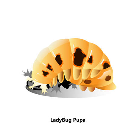 ladybugs pupa object vector.