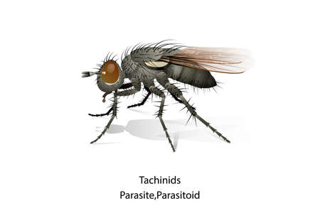 Tachinids insect is predator or parasitoid vector.Eat or parasite in Mahasena corbetti.