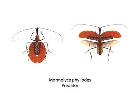 Mormolyce phyllodes object vector for graphic design