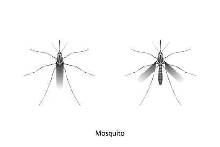 Mosquito object vector on white background,isolated for graphic design,agriculture,education,science,art work.