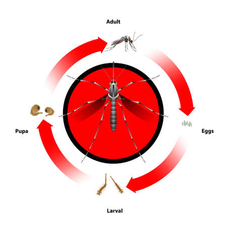 Mosquito life cycle object vector.For education agriculture Medical Science Graphic design and Art work.