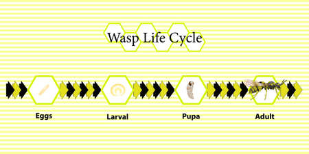 Wasp Life Cycle vector for agriculture,education,Science,Graphic design,Artwork.