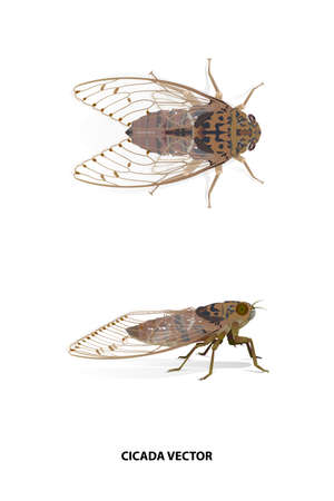 Cicada side and top vector on white background for graphic design,art work,education,science,agriculture.