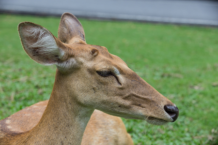 closed up on the head of antelope deer with green grass in the background Stock Photo
