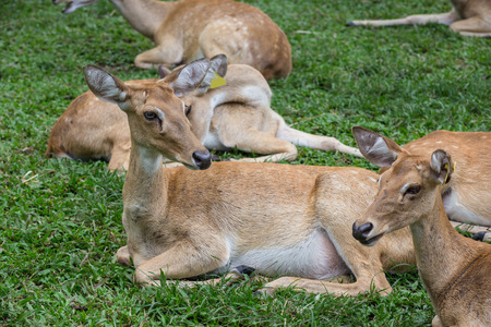 group of antelope deer sitting on the grass with green  background Stock Photo