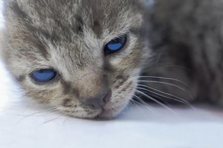 작은 흰 고양이는 잠을 잘 것이다.