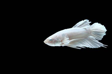 White Halfmoon Siamese Fighting Fish Isolated on Black Background Imagens - 83437790