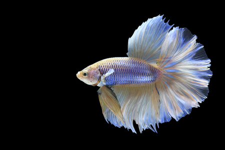 Halfmoon Siamese Fighting Fishes Isolated on Black Background