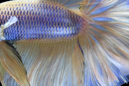 Close up view of Halfmoon Siamese Fighting Fish