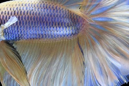 Halfmoon Siamese Fighting Fish의 뷰를 닫습니다.