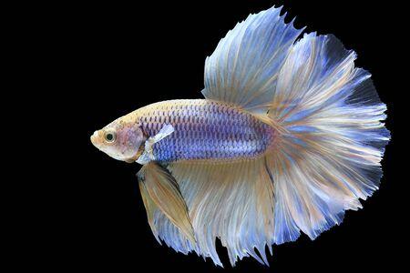 반음계 샴 싸우는 물고기 검은 배경, 클리핑 패스에 절연 스톡 콘텐츠 - 83437917