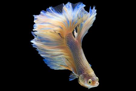 반음계 샴 싸우는 물고기 검은 배경, 클리핑 패스에 절연