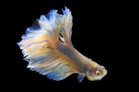 반음계 샴 싸우는 물고기 검은 배경, 클리핑 패스에 절연 스톡 콘텐츠 - 83437946