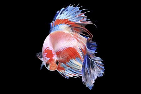 Half moon Siamese Fighting Fish Isolated on Black Background,