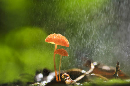 Rain is falling on orange mushrooms, Marasmius siccus or umbrella mushroom