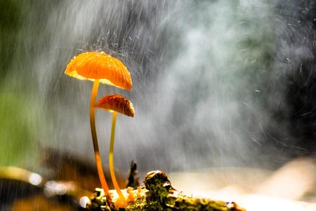 비가 오렌지 버섯, Marasmius siccus 또는 우산 버섯에 떨어지고 있습니다.