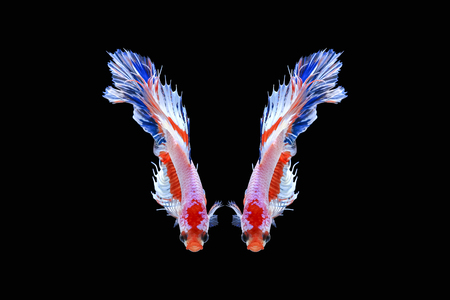 Halfmoon Siamese Fighting Fishes Isolated on Black Background,Clipping path Imagens - 85907882