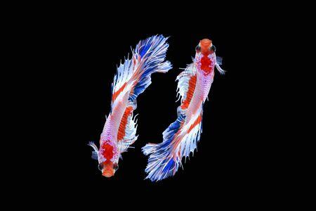 반음계 샴 싸우는 물고기 검은 배경, 클리핑 패스에 절연 스톡 콘텐츠 - 85907884