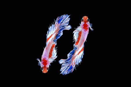Halfmoon Siamese Fighting Fishes Isolated on Black Background,Clipping path Imagens - 85907884