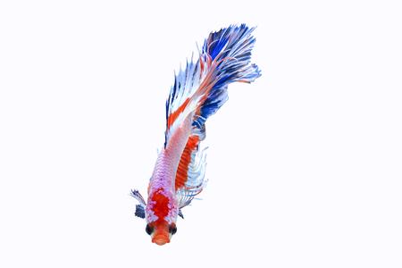 반음계 샴 싸우는 물고기 흰색 배경, 클리핑 패스에 격리 스톡 콘텐츠 - 85907885
