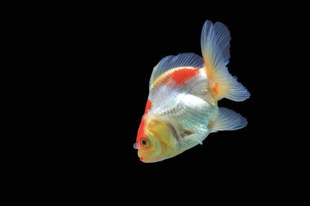 Goldfish isolated on black background,Clipping path