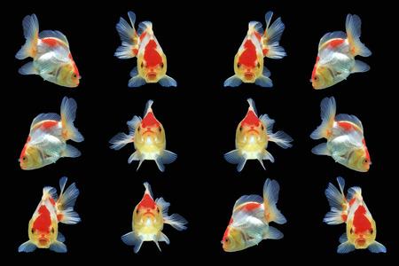 Goldfish isolated on black background,Clipping path Imagens - 85907888