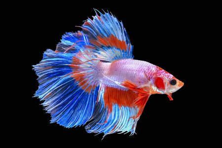 Halfmoon Siamese Fighting Fishes Isolated on Black Background, Clipping path