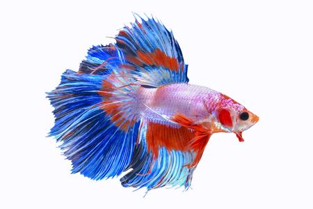 반음계 샴 싸우는 물고기 흰색 배경, 클리핑 패스에 격리 스톡 콘텐츠