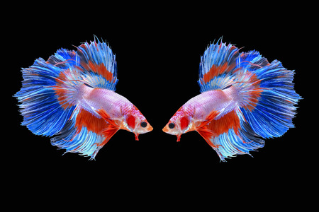 Couple of Halfmoon Siamese Fighting Fishes Isolated on Black Background, Clipping path Imagens - 87721969