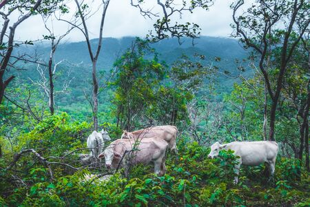 Cows are eating grass on green fields in the rainy season at Doi Luang Tak, Tak Province,Thailand.