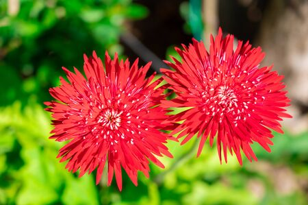 Red gerbera flower on green nature background